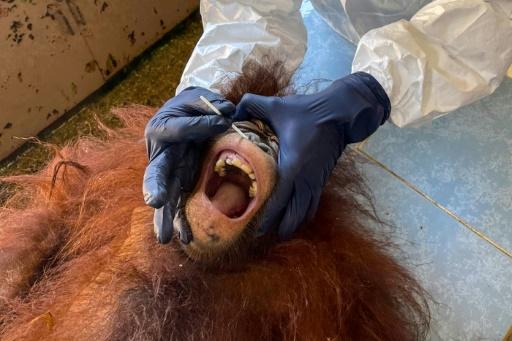 orangs-outans coronavirus