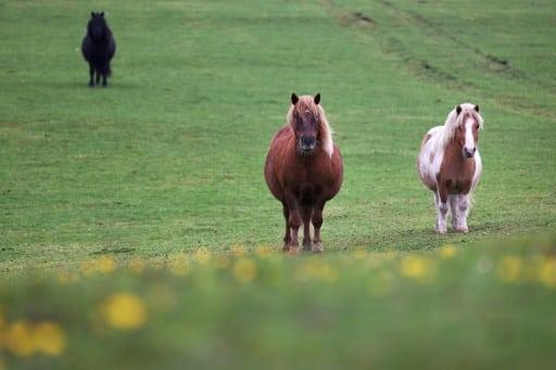 poneys shutland écosse pandémie