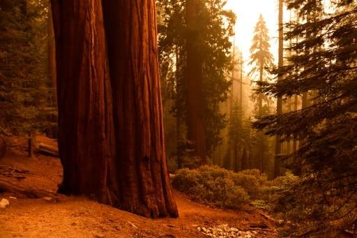 séquoias flammes