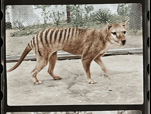 tigre de tasmani disparition images