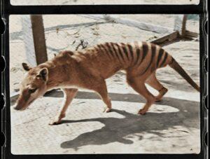 tigre de tasmani