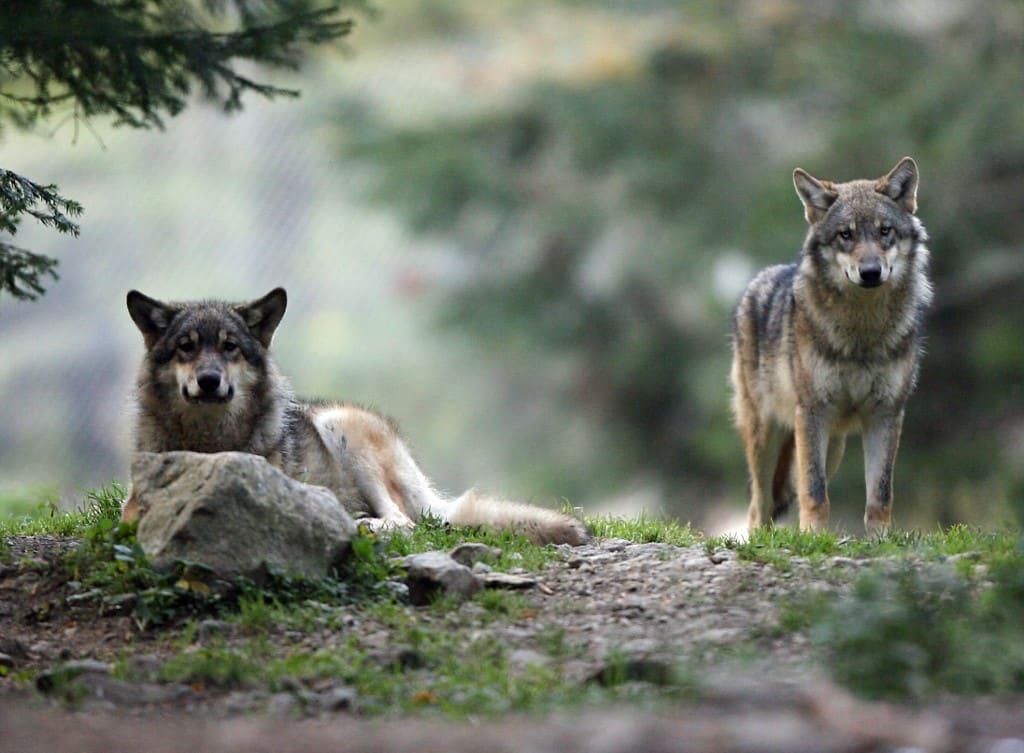 loups pistage baptiste morizot