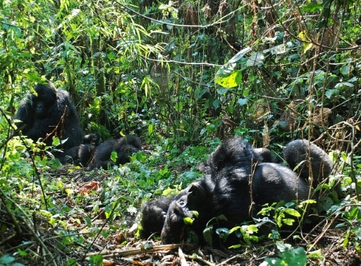 gorilles virunga