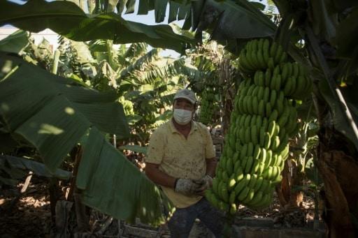 banane la palma