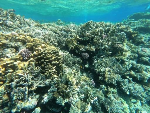 coraux égypte